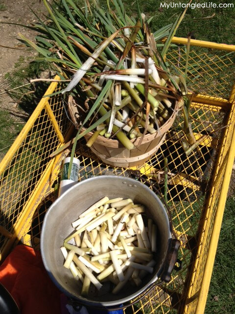 Foraged Cattails Ready for Cooking - MyUntangled Life