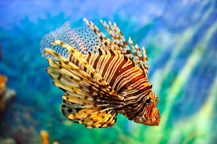Lionfish-Credit-Vudhikrai