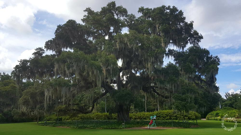 The Airlie Oak at Arlie Gardens